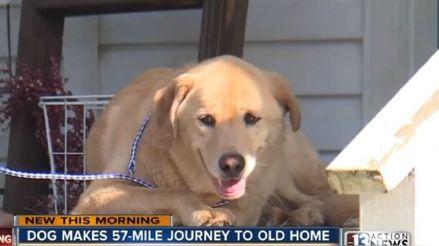 Perrita viajó más de 90 kilómetros para volver a su antigua casa con sus dueños [VIDEO]