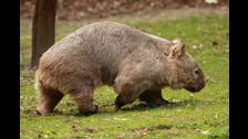 El personaje originalmente estaba inspirado en un Wombat, un raro marsupial australiano.