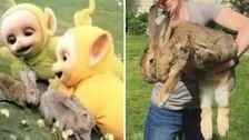 2. En la serie aparecen conejos en el jardín. Estos animales son de una especie gigante y tenían un problema: Eran demasiado propensos a copular todo el tiempo. En muchas ocasiones tuvieron que repetirse las escenas pues había animales reproduciéndose en las tomas.